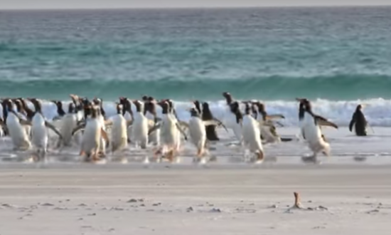 When penguins on beach see this frightening thing emerge from the water—they start running like crazy