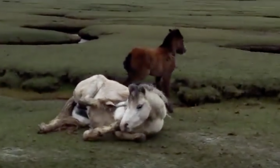 They see mare with young foal, but where mom's leg is—immediately realize it's bad