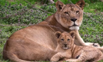 Virginia Zoo New Lion Cub Out With Mom