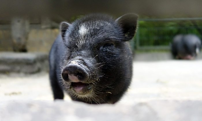 A 3-week-old pot-bellied pig, the same variety as the pig killed in British Columbia for food after it was adopted. (Johannes Eisele/AFP/Getty Images)