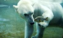 Polar Bears Get Special Treat at San Diego Zoo on International Polar Bear Day