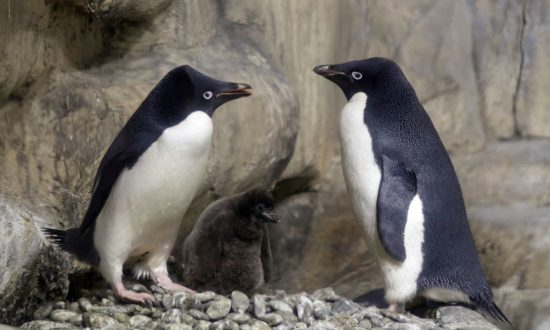 Massive Colony of Penguins Discovered on Antarctica's Danger Islands. It Changes Everything