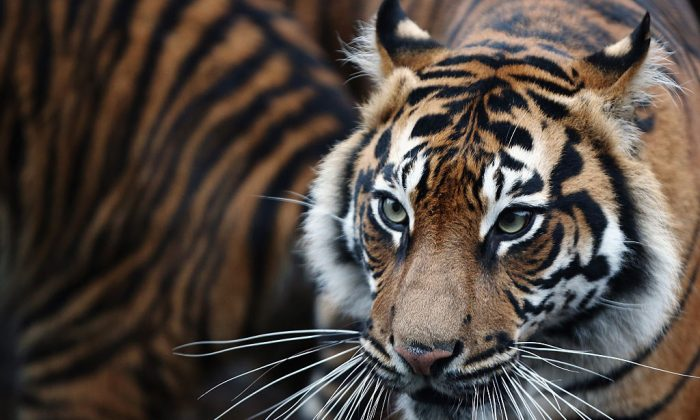 Rare Sumatran tiger killed by villagers in Indonesia