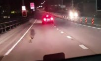 Runaway Wallaby Hops Away From Police
