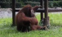 Watch: Orangutan Picks up a Cigarette and Smokes It