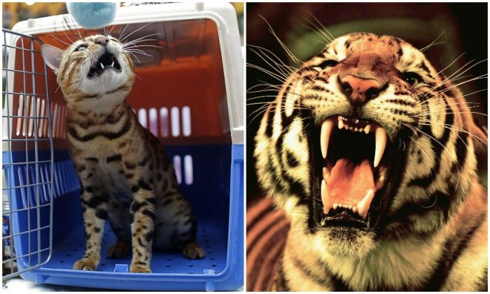 A leopard cat, pictured on Oct. 22, 2016 versus a real tiger, pictured on Oct. 25, 2006, both in Wuhan, China. (Wang He/Getty Images & China Photos/Getty Images)