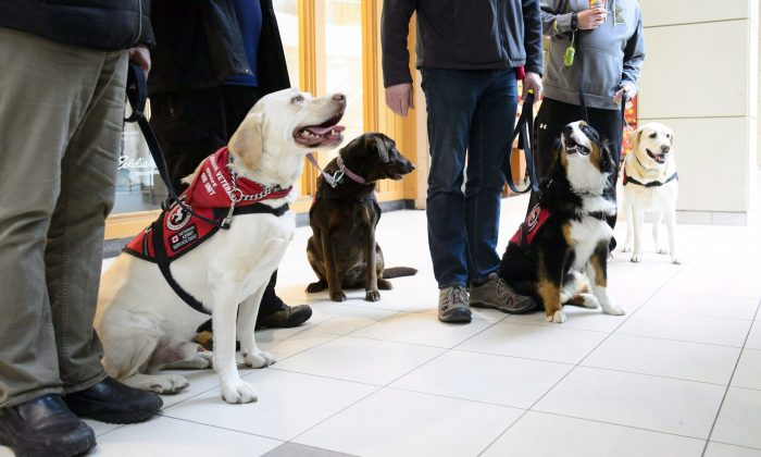 Service dogs from the Canadian Veteran Service Dog Unit charitable organization take part in a training session at a mall in Ottawa on March 6, 2018. (The Canadian Press/Sean Kilpatrick)