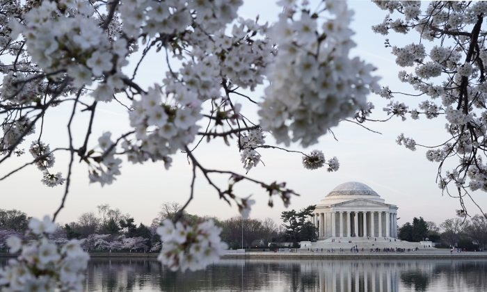 Blooming cherry blossoms frame the Jefferson Memorial in Washington, D.C. (MANDEL NGAN/AFP/Getty Images)