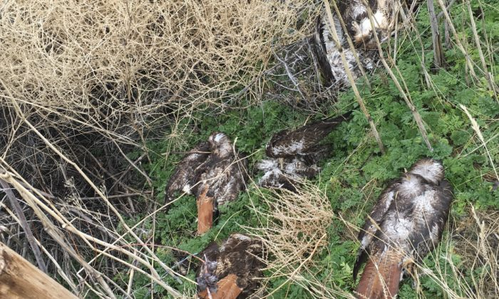 Bird carcasses found on the property in Lassen County, California. (California Department Of Fish And Wildlife)