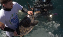 Rescued Green Sea Turtles Released Into the Wild off New Zealand Coast
