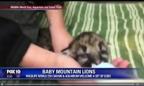 Mountain Lion Cubs Born in Arizona Zoo