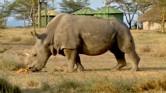 Northern White Rhino Doomed to Extinction as Last Male Dies
