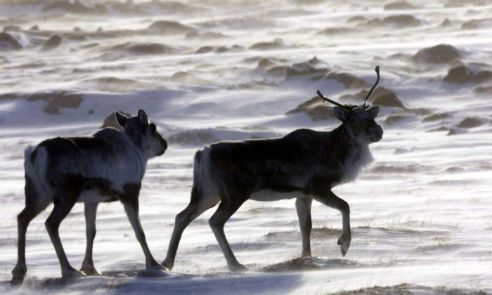 Wild caribou roam the tundra in Nunavut in this file photo. (The Canadian Press/Nathan Denette)