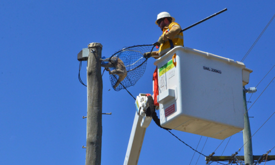 Koala Stuck Up Power Pole for Two Days Rescued With Cherry Picker