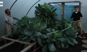 Man grows a gigantic cabbage to feed his family of 18 people