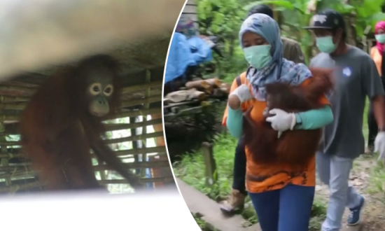 Three Orangutans Rescued by Animal Conservation Agency in Indonesia