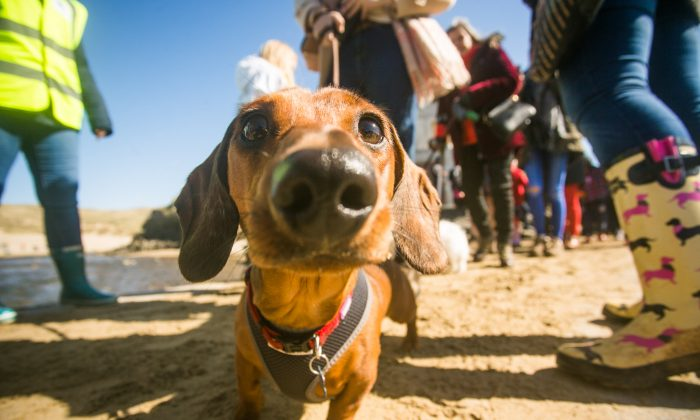 The world record for having the most sausage dogs in one place was broken on Sunday, March 25. (SWNS)