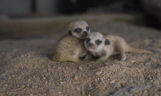 Gaggle of Baby Meerkats Born at Symbio Wildlife Park in Australia