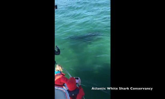 Great White Shark Preys on Seals in Massachusetts