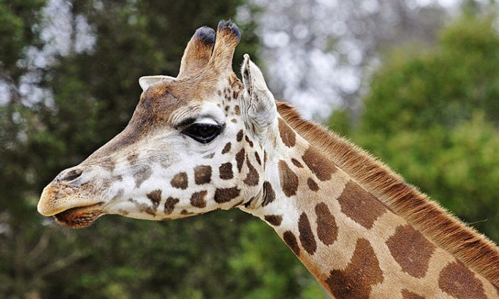This reticulated giraffe reside in Australia's Melbourne Zoo (fir0002/flagstaffotos.com.au/Wikimedia Commons)
