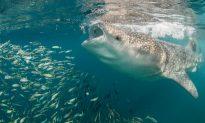 Man Takes Incredible Photos of Shark Gulping Down Food Tornado