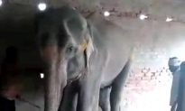 Disturbing Footage Shows Last Hours of an Elephant's Life in Captivity in India