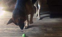 German Shepherd Learns to Play Fetch by Himself