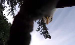 Man just wanted to get a good shot of a bald eagle—But it had other ideas