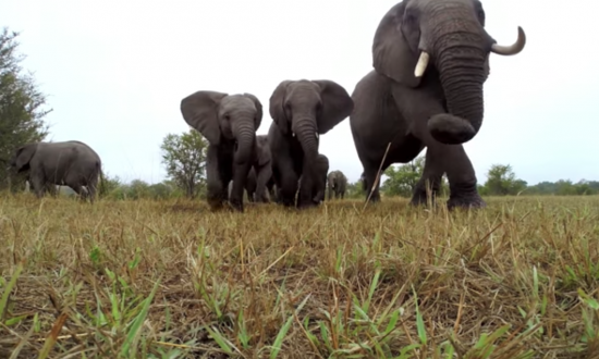 GoPro was set down to capture elephants, but elephants catch a whiff of it—take it on wild ride