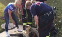 3 Mastiffs Rescued from Storm Drain in Colorado