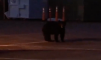 California Deputy Finds Three Bear Cubs Wandering Around Station Parking Lot