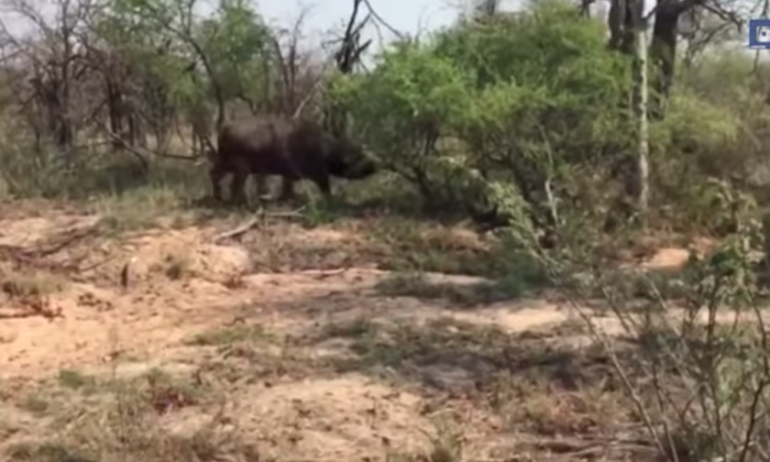 Lion pushes cub into unexpected sparring match with buffalo