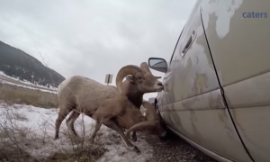 Mountain sheep approach cars on the road to give them a free car wash