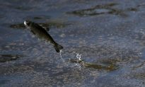 Canada to See Large Shifts in Fish Habitat From Climate Change