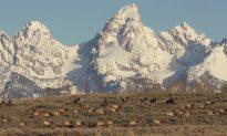Elk Herd Cross Rocky Mountains for Spring Migration