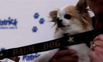 Chihuahua Wins Big at Cannes Palm Dog Awards