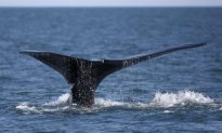 Fishermen Scrambling After Endangered Whales' Arrival in Gulf of St. Lawrence