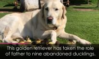 Labrador Adopts Nine Adorable Baby Ducklings