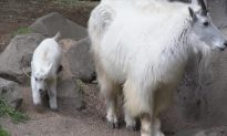 Baby Goat Finding His Feet at Oregon Zoo