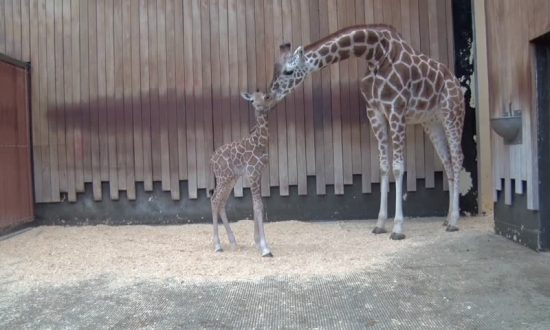 Baby Giraffe Bonds with her Mother at Milwaukee County Zoo