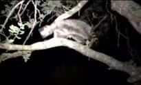 Raccoon in Florida Gets Head Stuck in Jar