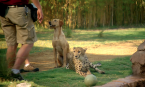 Dog and cheetah are in same enclosure, but wait till you see what happens when they're left alone