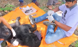 Sloth bear gets trapped in barbed wire, but my heart is warmed seeing rescuers in action