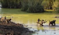 Safari guide sees baboons crossing river. But when she notices what's different—she whips out camera
