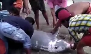 Dolphin ends up in a canal—but when villagers hear about it—they take out fishing nets
