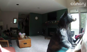 Owners find bear roaming around their home, but it's next move—they nervously watch it unfold
