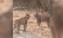 Ontario Man Amazed to Film Shrieking Lynx at Close Range