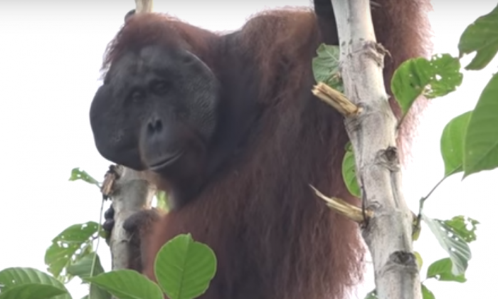 This orangutan was driven away from its home. What rescue team do for it—I'm amazed