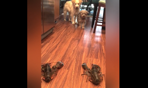 They put two lobsters on the floor, but how the dogs react—I am howling with laughter