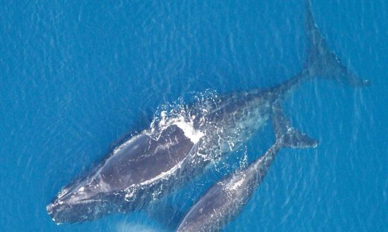 Twelve Right Whales Spotted in Closed Fishing Grounds Off New Brunswick: LeBlanc